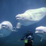 three-beluga-whales