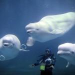 three-beluga-whales